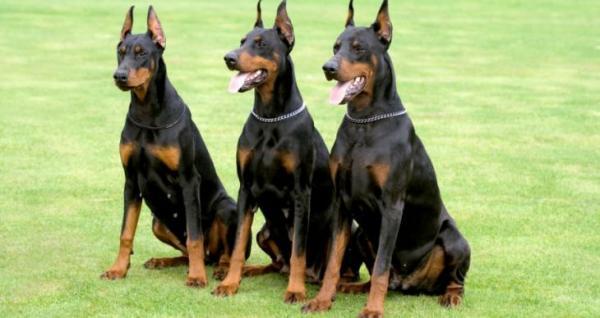 Câmara de Vila Velha aprova lei que proíbe uso de cães de guarda